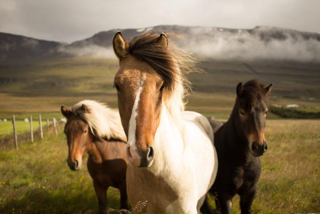 Iceland road trip - icelandic horses